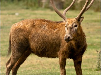 A Pere Davids Deer