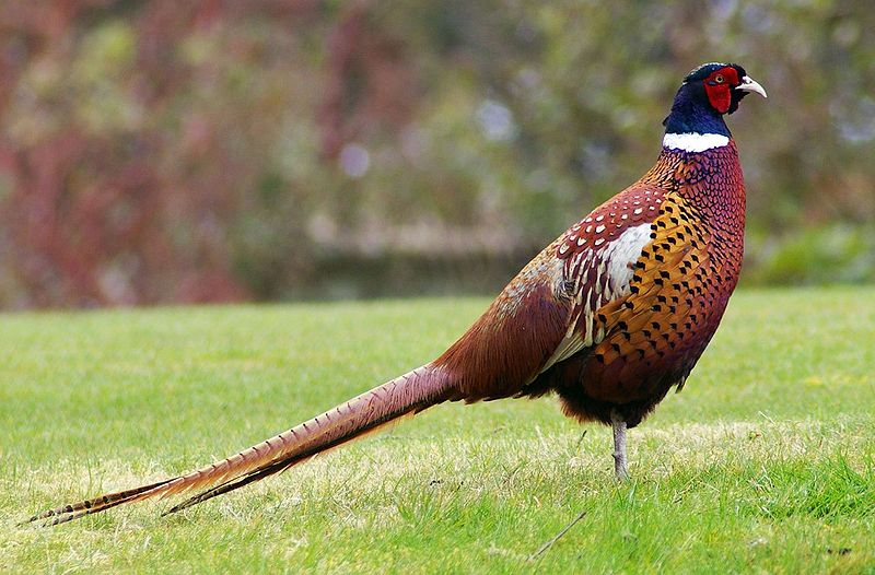 Pheasant Standing In The Grass