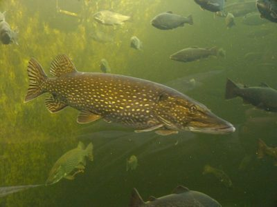 A Pike Fish