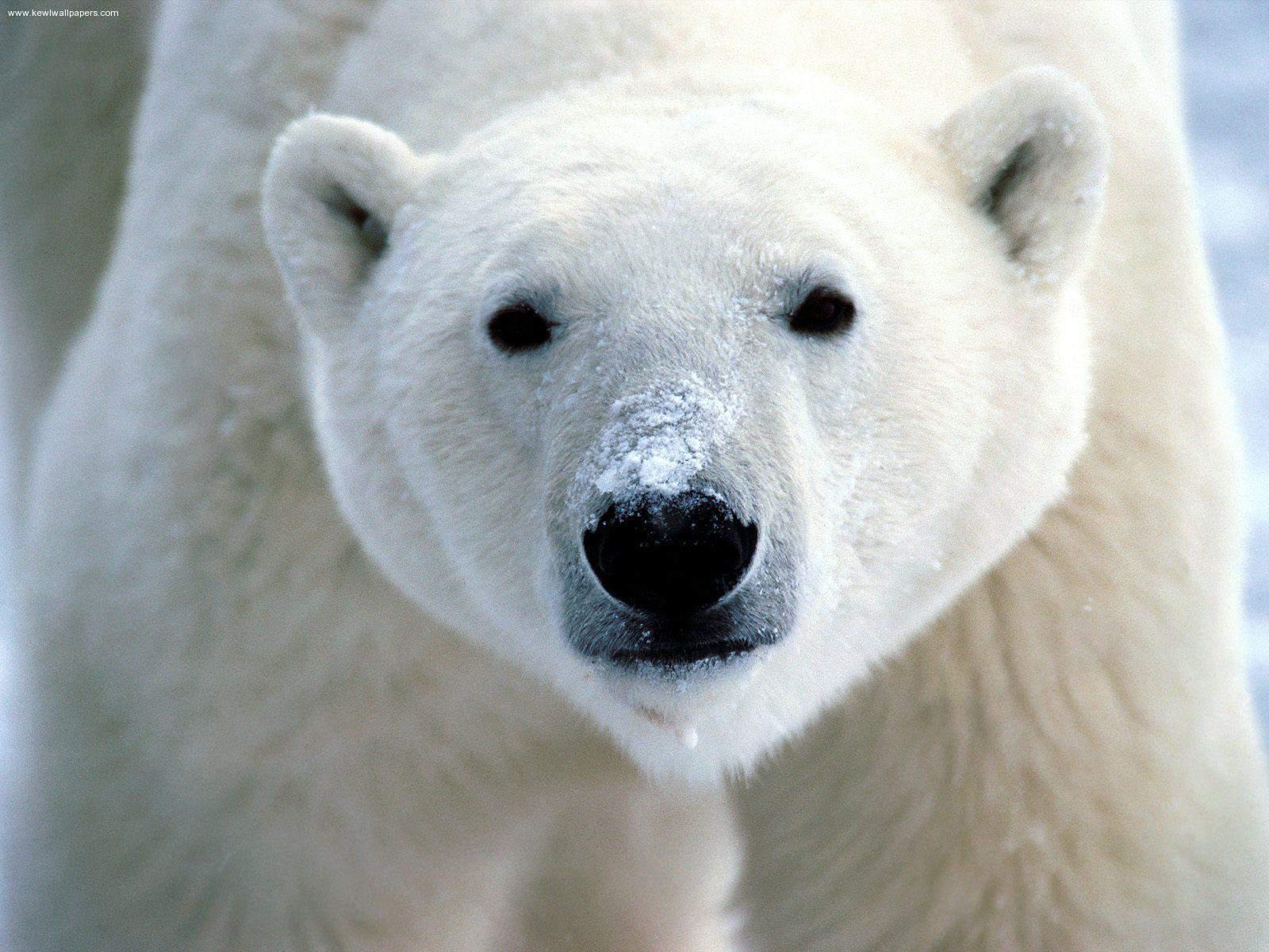Polar bear ursus maritimus animals a z animals a close up shot of a polar bear with snow on its snout sciox Choice Image