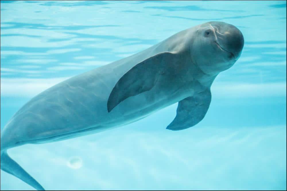 Una marsopa nadando y mirando a la cámara.
