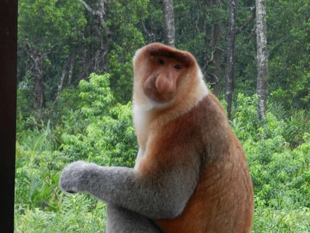Proboscis Monkey (Nasalis larvatus) - Animals - A-Z Animals ...