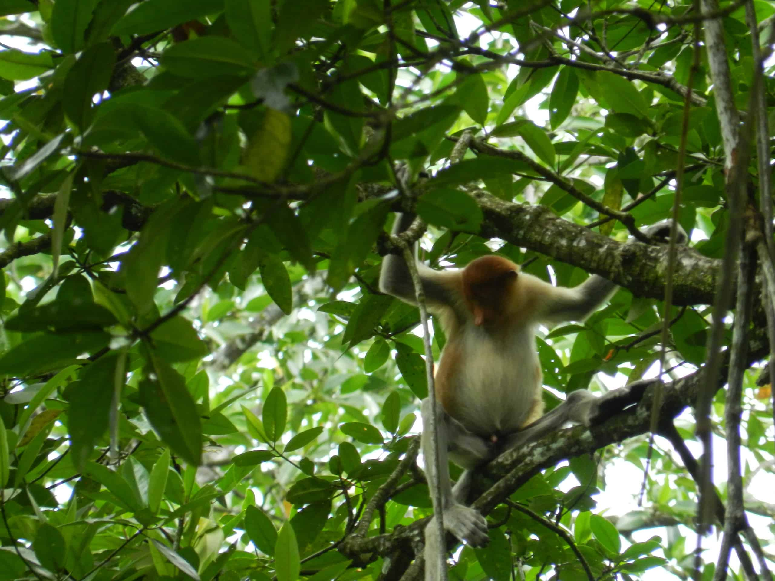 Picture 6 of 14 - Proboscis Monkey (Nasalis Larvatus