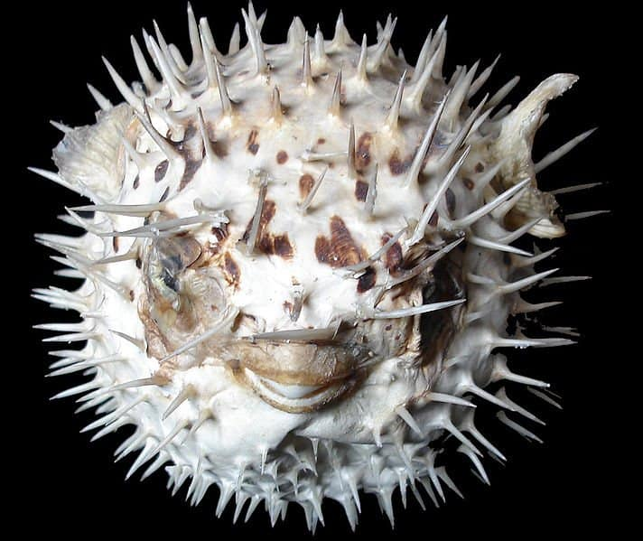 Picture 1 of 8 puffer fish tetraodontidae pictures for Puffer fish adaptations