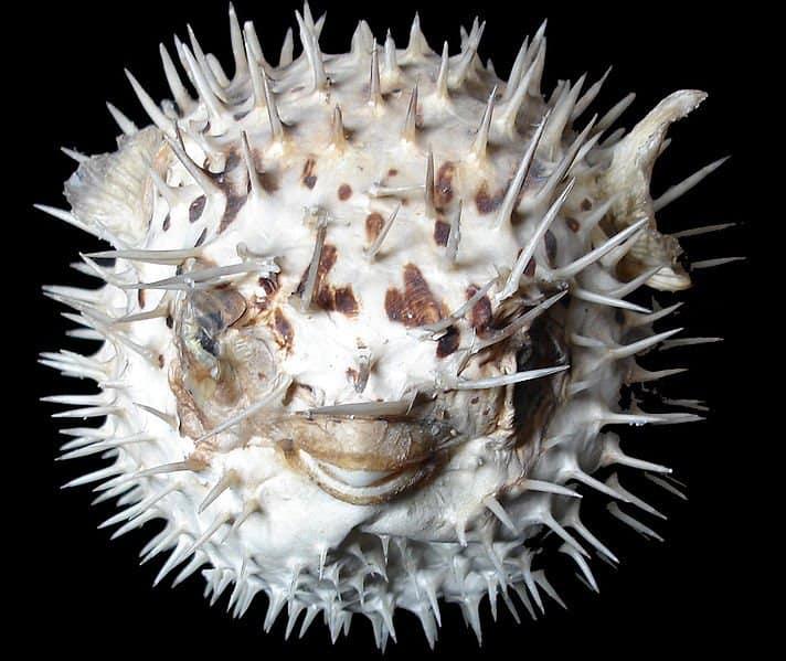 Puffer Fish (Tetraodontidae) - Animals - A-Z Animals