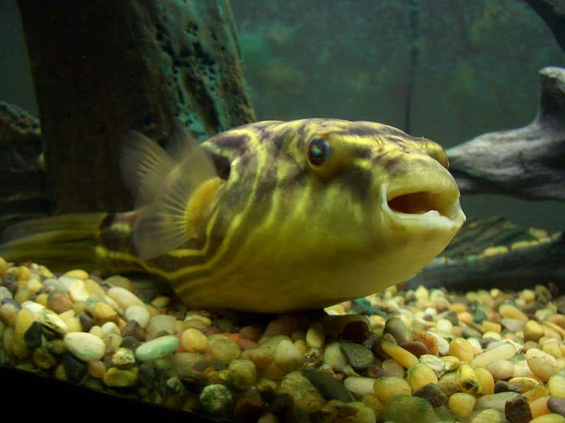 Picture 5 of 8 puffer fish tetraodontidae pictures for Puffer fish adaptations