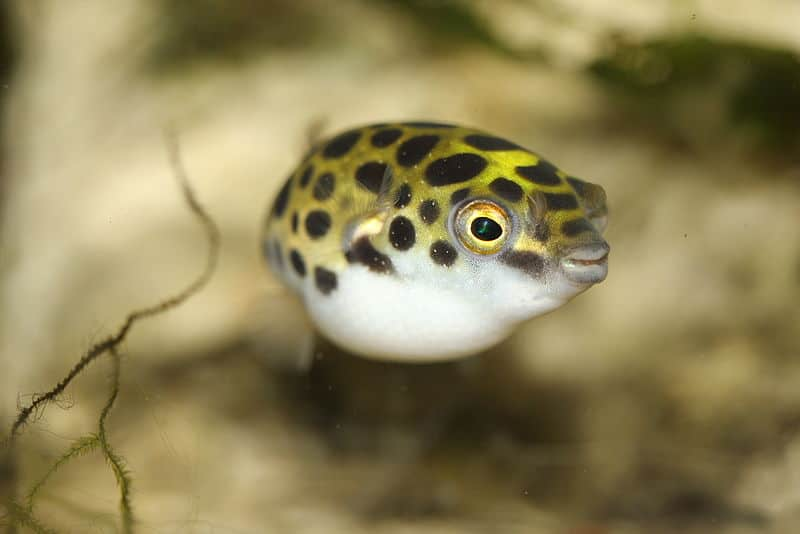 What do procupine fish eat?