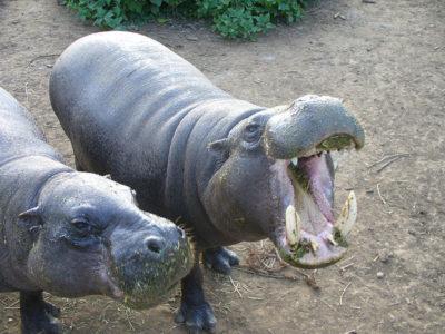 A Pygmy Hippopotamus