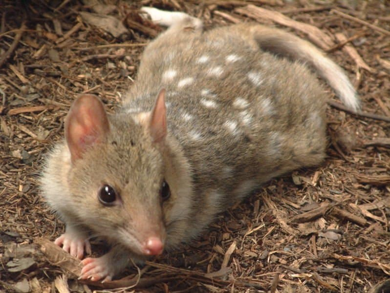 quoll - Dasyurus - spotted quoll laying on the ground