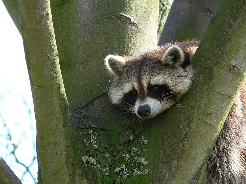 Raccoon (Procyon Lotor) - Animals - A-Z Animals - Animal Facts ...