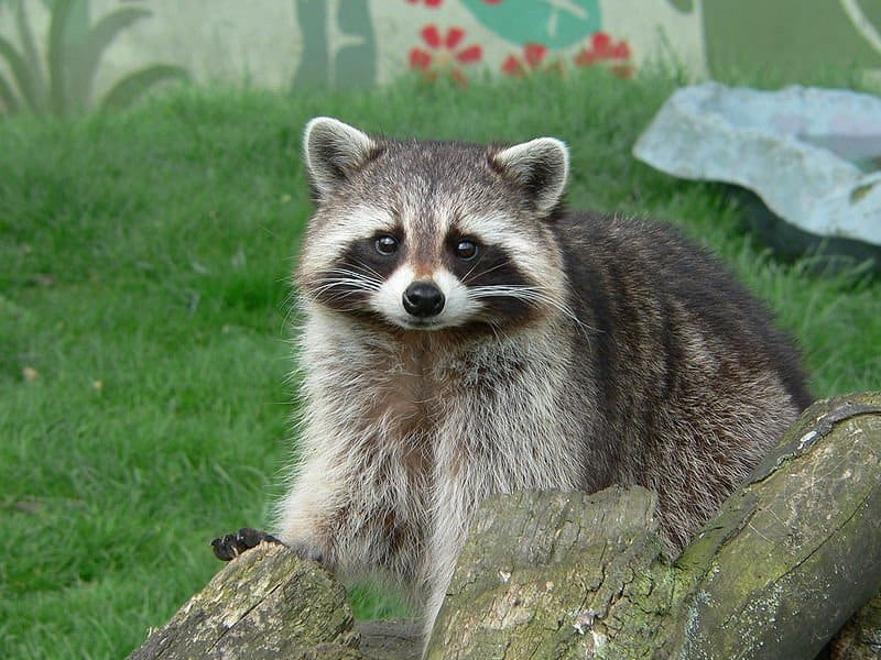 Raccoon  Raccoon