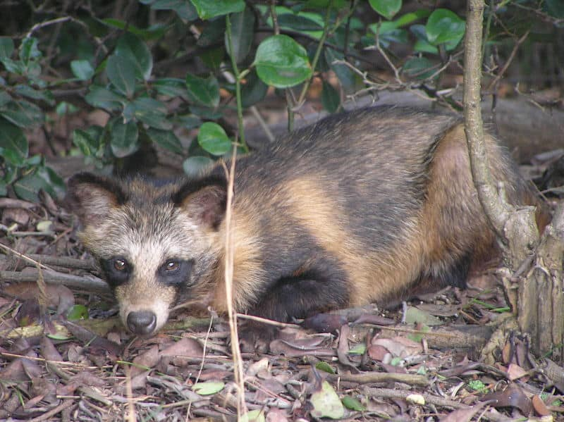 Japan Raccoon Dog Black