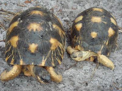 A Radiated Tortoise