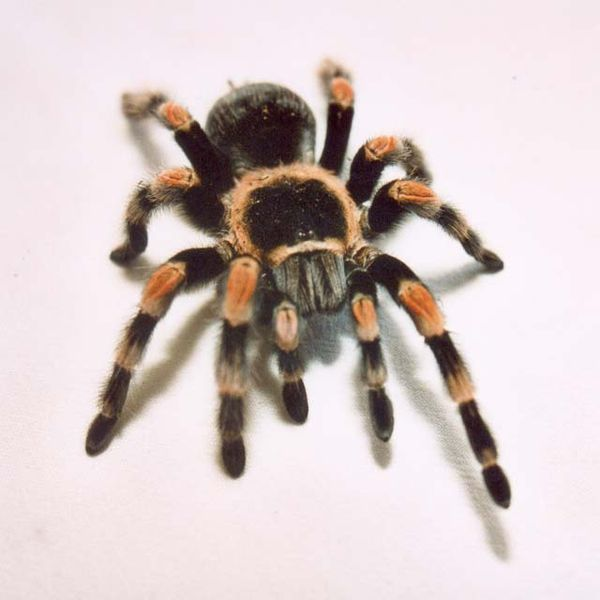 Red Knee Tarantula (chypelma Smithi) - Animals - A-Z Animals Map Of Where Redknee Tarantulas Live on map where do tarantula, how long do tarantulas live, map of where camels are from, where do tarantulas live, map where do lizards live on a glass, map of brown recluse spiders in the us, map of arkansas, were tarantula live, map where do praying mantis live, map of mississippi natural resources, maps of where the brown widows live, map of tarantulas in us, map of tarantula hawk wasp,