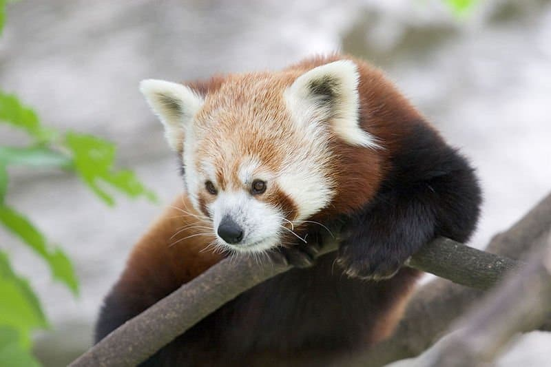 Red Panda Ailurus Fulgens Animals A Z Animals