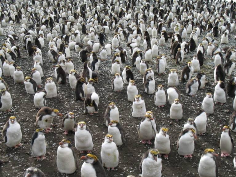 Royal Penguin colony