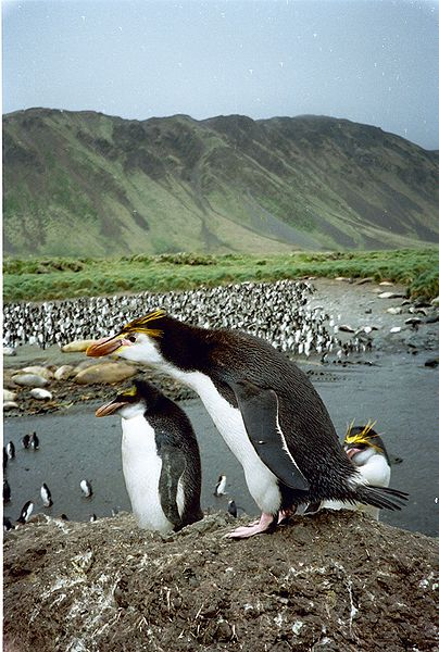 Royal Penguin standing on a rock