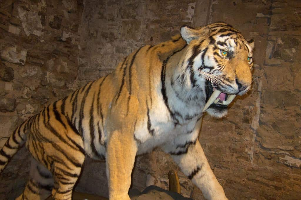 Picture 4 of 8 - Sabre-Toothed Tiger (Smilodon Populator ...