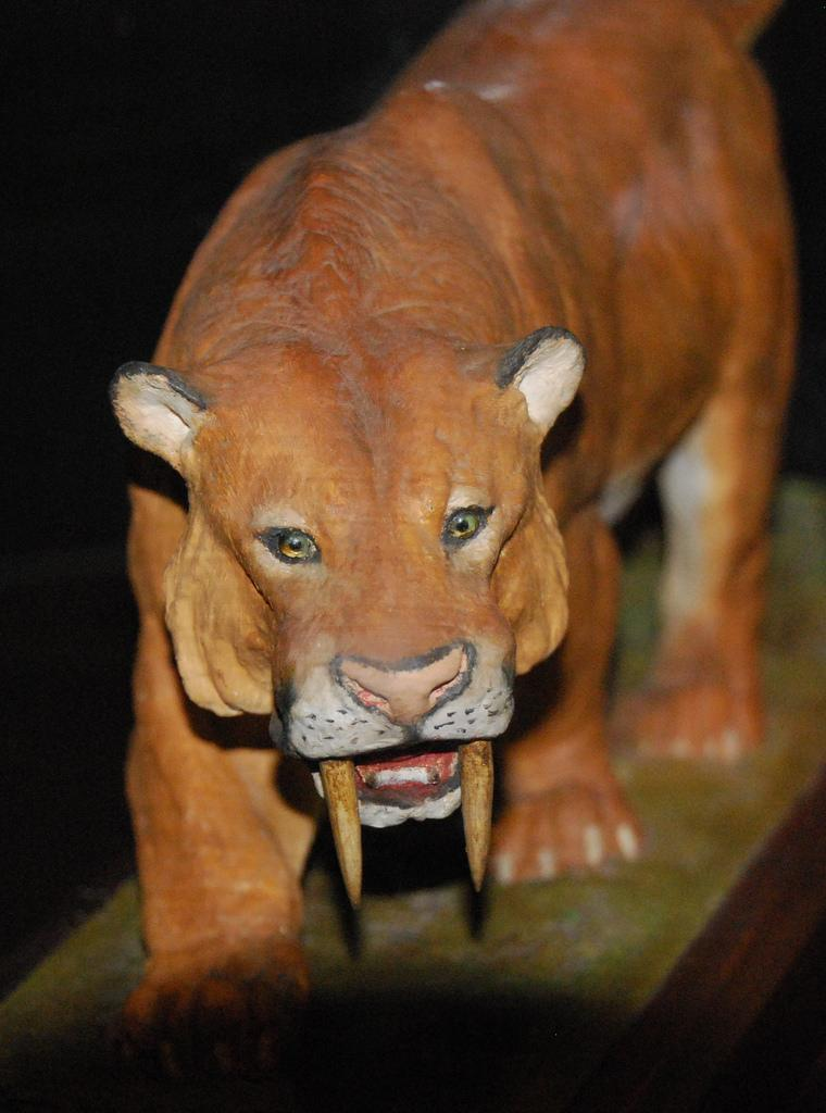 Sabre toothed tiger smilodon populator animals a z animals a model showing what a sabre toothed tiger may have looked like ccuart Image collections