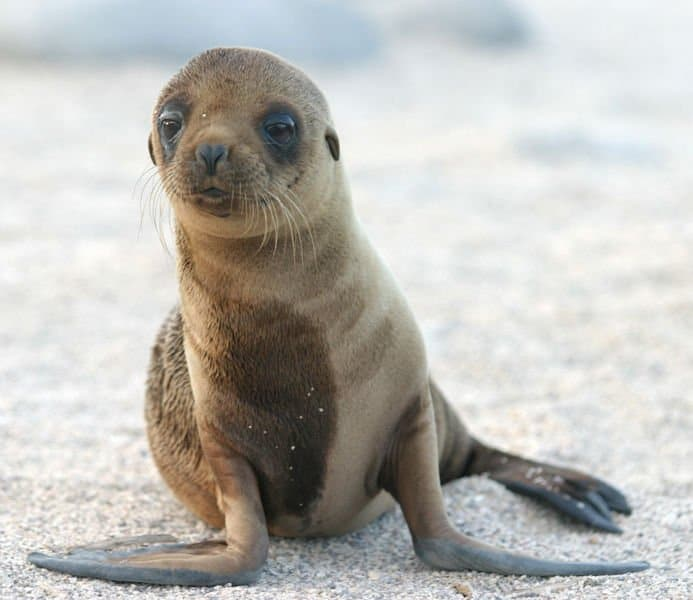 Galapagos Sea Lions And Fur Seals Foraging Trips A Scientific Diagram