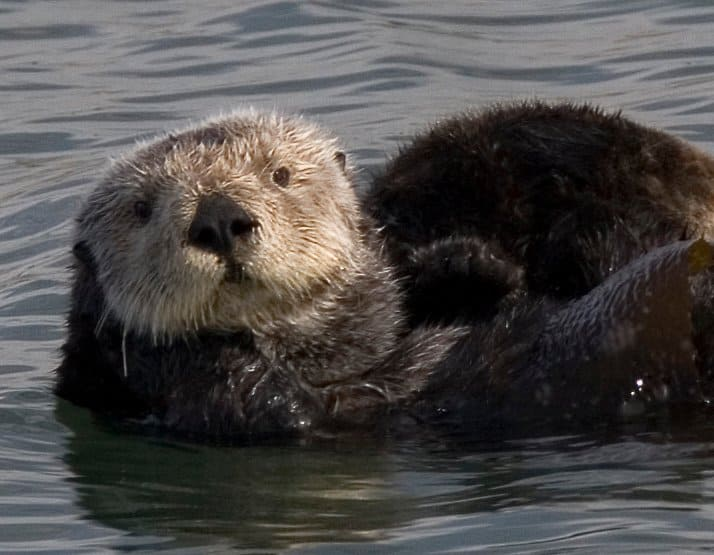 Sea Otter (Enhydra Lutris) ...