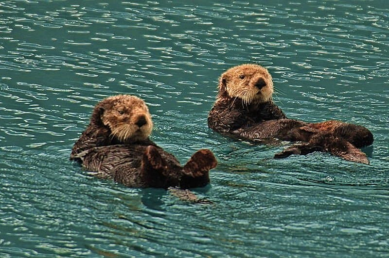 Picture 2 of 9 - Sea Otter (Enhydra Lutris) Pictures & Images ...