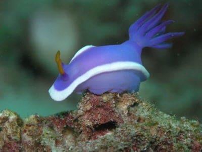 Blue Sea Slug on a rock