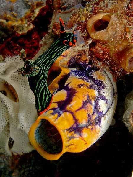 Urochordata - sea squirt - colorful sea squirt attached to coral