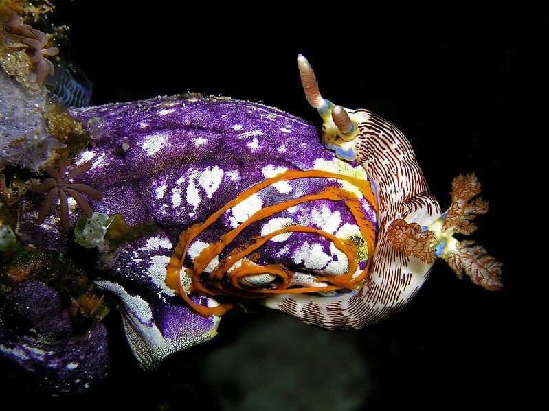 ... Sea Squirt (Urochordata) ...