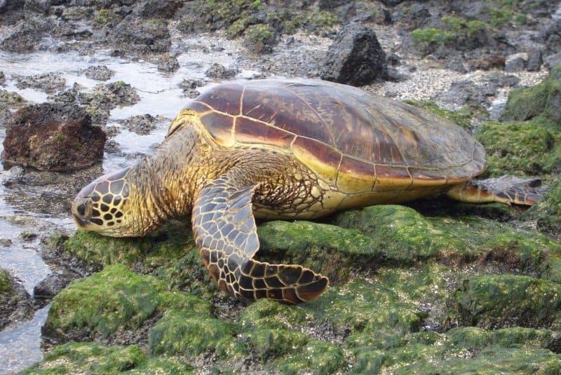 Tortuga marina sentada sobre musgo por rocas