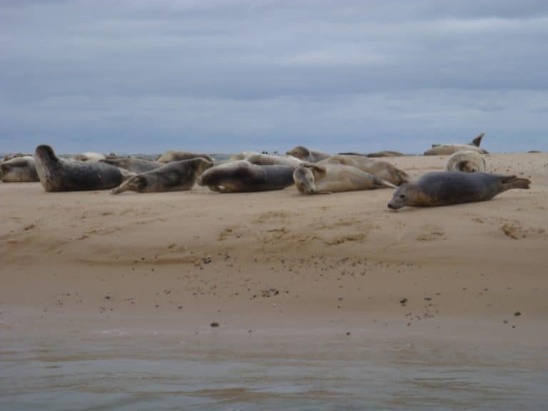 Common Seals at Blakeney Point
