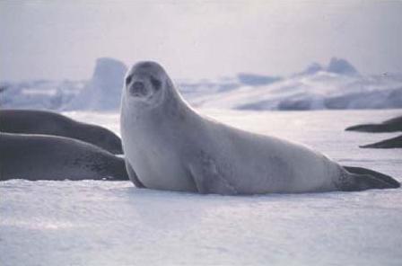 Seal lying on ice