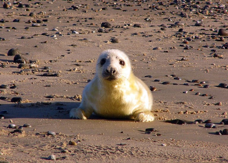 Baby Seal lying on the sand