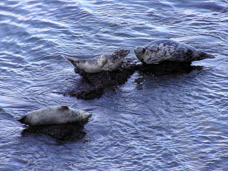 Three Seals lying on rocks in the water