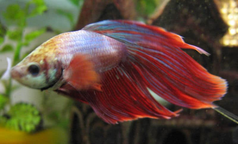Picture 3 of 8 siamese fighting fish betta splendens for Betta fish disease