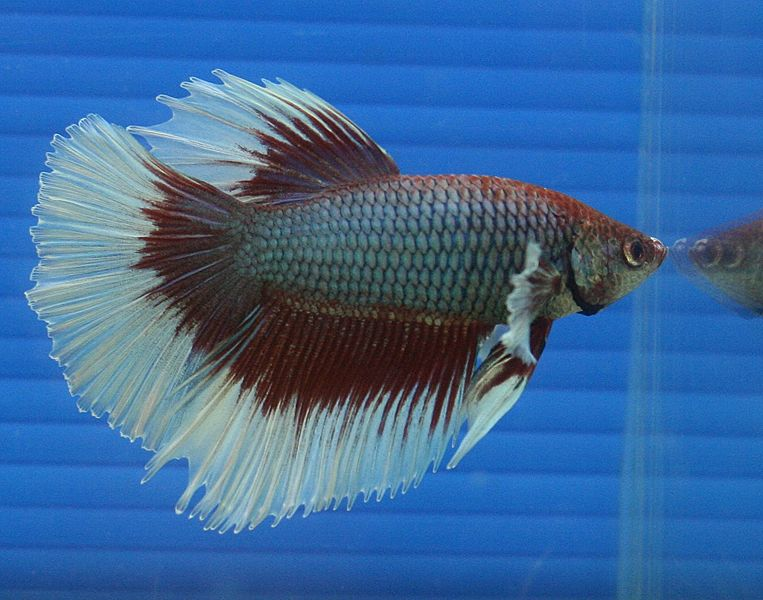 Picture 7 of 8 siamese fighting fish betta splendens for What kind of fish can live with a betta