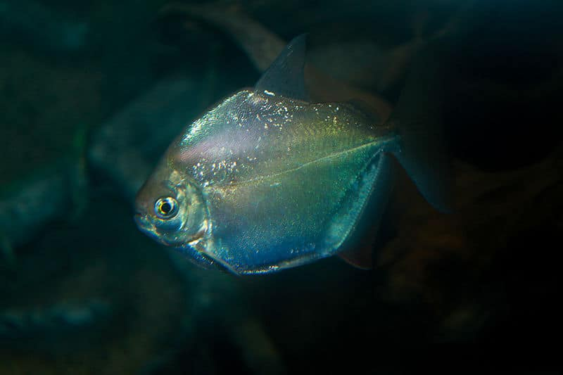 Picture 1 of 2 silver dollar metynnis argenteus pictures images animals a z animals for Fish compatible with angelfish