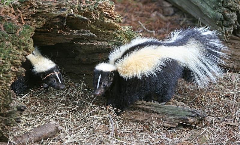 Skunk (Mephitis Mephitis) ...
