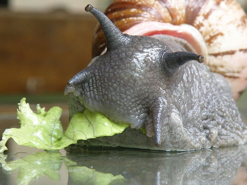 Snail (Achatinoidea) - Animals - A-Z Animals