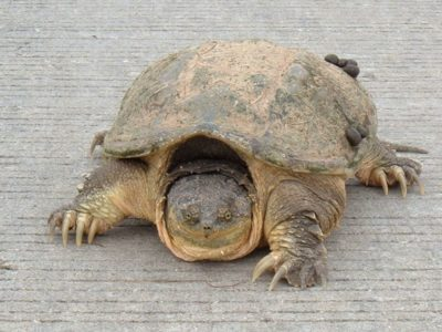 A Snapping Turtle