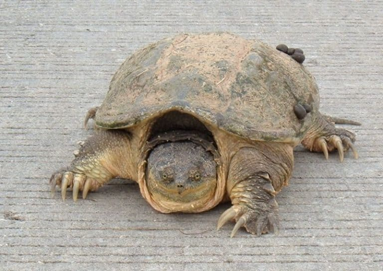Snapping Turtle in the zoo