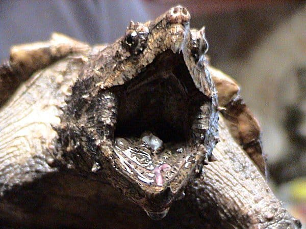 Snapping Turtle with mouth open