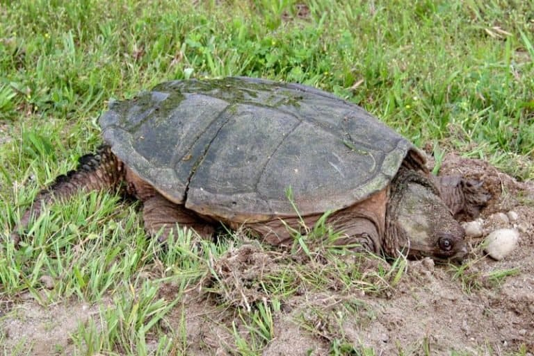 Snapping Turtle on grass