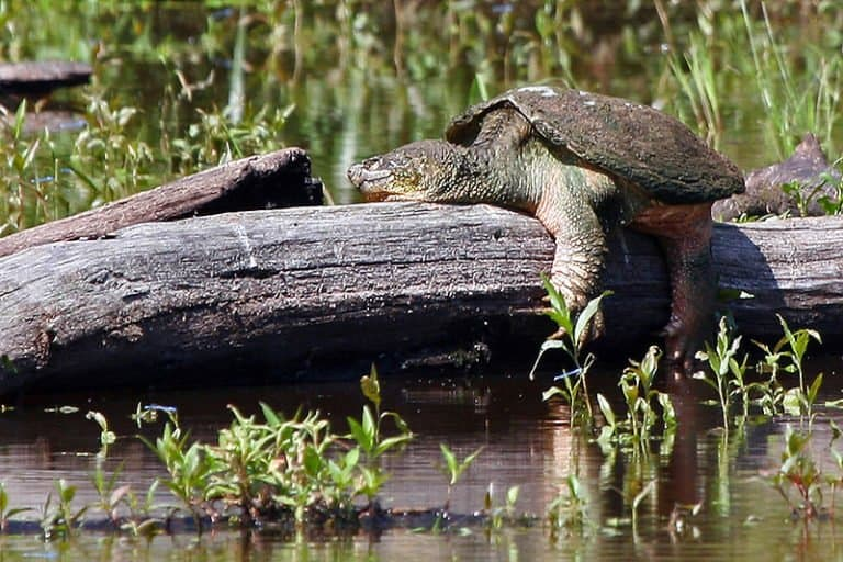 Snapping Turtle by the water