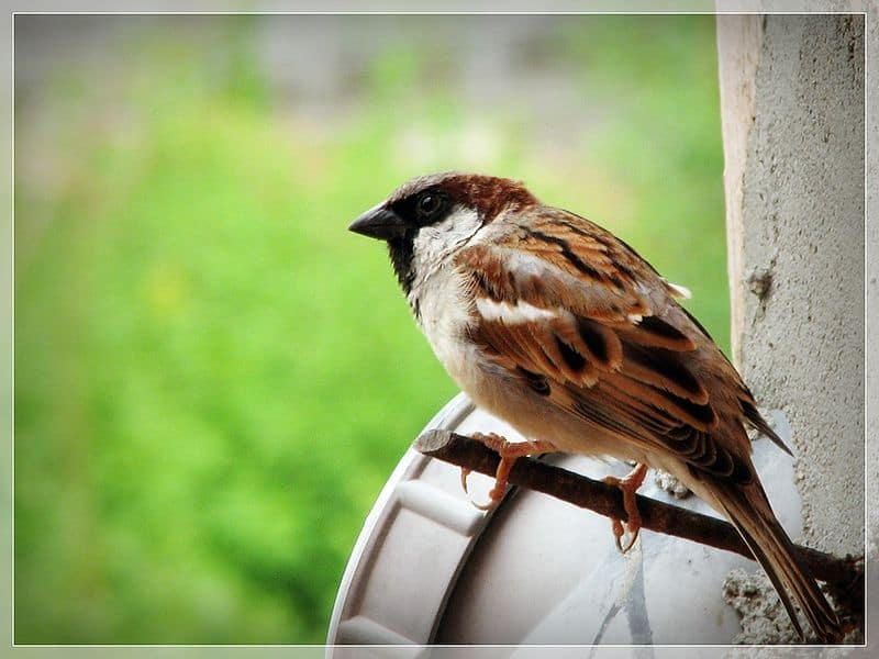 View Original Sparrow Image
