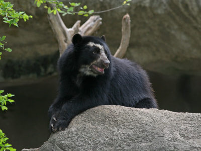 A Spectacled Bear