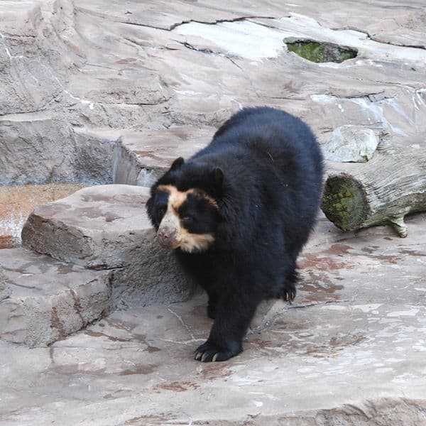 Spectacled Bear walking on rocks