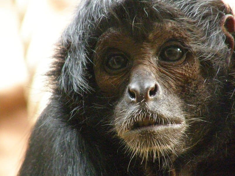 Spider Monkey (Simia Paniscus) - Animals - A-Z Animals