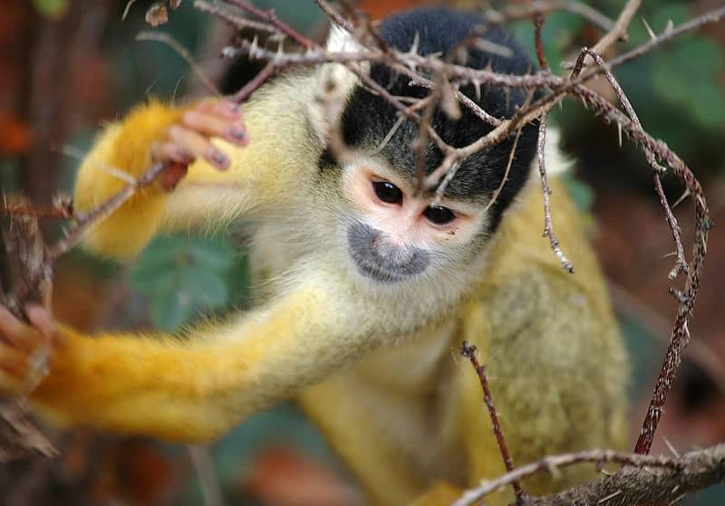 Common squirrel monkey  Wikipedia