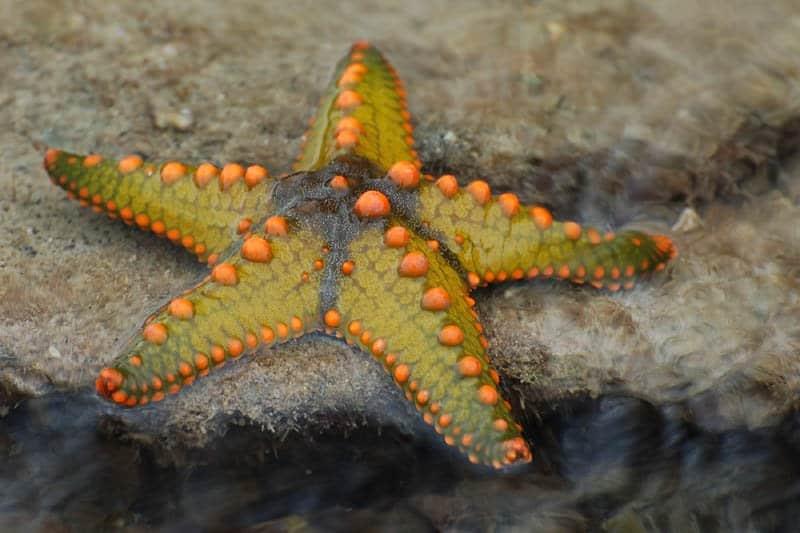 Starfish Protoreaster Nodosus Animals A Z Animals